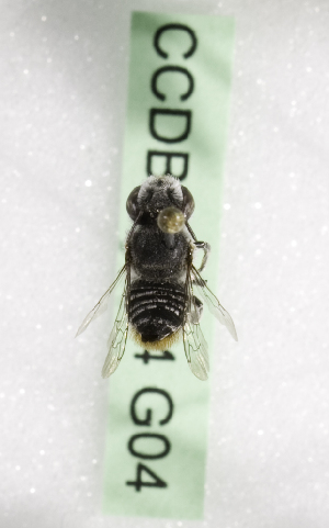 (Megachile KEN20 - CCDB-09854 G04)  @13 [ ] CreativeCommons - Attribution Non-Commercial Share-Alike (2010) Packer Collection York University York University