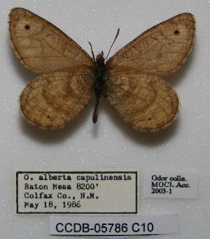 (Oeneis alberta capulinensis - CCDB-05786 C10)  @12 [ ] Copyright (2012) University of Florida, FMNH - McGuire Center University of Florida, FMNH - McGuire Center