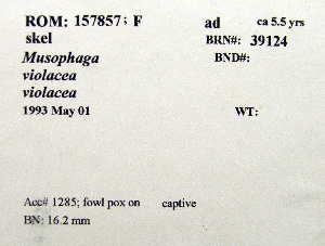 (Musophaga - 1B-1638)  @11 [ ] CreativeCommons - Attribution (2010) Erika Tavares Royal Ontario Museum