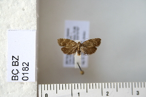 (Cnephasia ecullyana - CCDB-11132-H03)  @13 [ ] Copyright  B. Zlatkov 2011 Unspecified