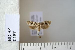 (Cnephasia graecana - CCDB-11132-H08)  @13 [ ] Copyright  B. Zlatkov 2011 Unspecified
