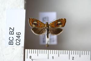 (Olethreutes arcuellus - CCDB-11133-E08)  @14 [ ] Copyright  B. Zlatkov 2011 Unspecified