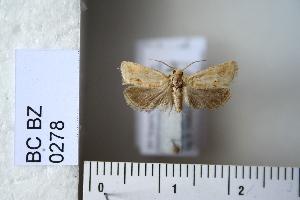 (Pelochrista mancipiana - CCDB-11133-H04)  @12 [ ] Copyright  B. Zlatkov 2011 Unspecified