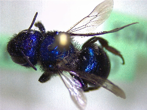 (Osmia sp - CCDB-29937 H01)  @12 [ ] CreativeCommons - Attribution (2017) Laurence Packer York University