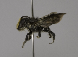 (Megachile borneana - CCDB-01563 D03)  @14 [ ] CreativeCommons - Attribution Non-Commercial Share-Alike (2010) Packer Collection at York University York University