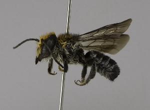 (Megachile kohtaoensis - CCDB-01563 D12)  @15 [ ] CreativeCommons - Attribution Non-Commercial Share-Alike (2010) Packer Collection at York University York University