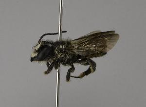(Megachile rufovittata - CCDB-01563 E04)  @13 [ ] CreativeCommons - Attribution Non-Commercial Share-Alike (2010) Packer Collection at York University York University