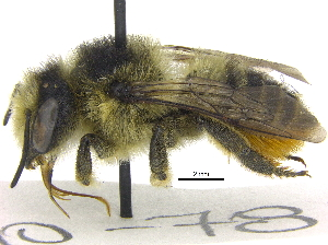 (Megachile perihirta - 06717C10-YT)  @15 [ ] CreativeCommons - Attribution Non-Commercial Share-Alike (2015) CBG Photography Group Centre for Biodiversity Genomics