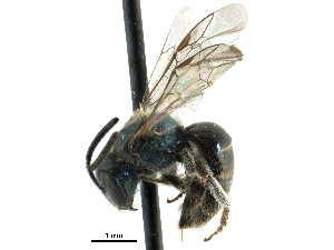 (Lasioglossum izawsum - 06735G04-MA)  @11 [ ] CreativeCommons - Attribution Non-Commercial Share-Alike (2015) CBG Photography Group Centre for Biodiversity Genomics