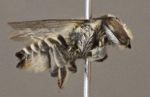 (Megachile timberlakei - CCDB-22790 D03)  @13 [ ] PCYU (2014) Unspecified York University