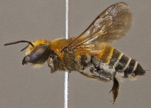 (Megachile umbripennis - CCDB-22790 E02)  @14 [ ] PCYU (2014) Unspecified York University