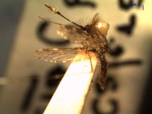 (Anopheles cf. albitarsis - MACN-Bar-Ins-ct 04715)  @11 [ ] Copyright (2012) MACN MACN