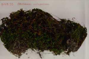 (Polytrichopsida - Robillard_EMPM55_CAN)  @13 [ ] Copyright (2012) Canadian Museum of Nature Canadian Museum of Nature