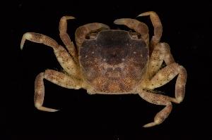 (Varunidae - ZSMA20111366)  @16 [ ] Copyright (2011) Roland Meyer Unspecified