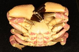 (Platyxanthidae - ZSMA20111384)  @15 [ ] Copyright (2011) Roland Meyer Unspecified