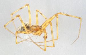 (Megalepthyphantes - AKO_001578)  @14 [ ] CreativeCommons - Attribution Non-Commercial (2015) Marko Mutanen University of Oulu