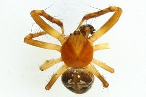 (Araneus sturmi - ZMUO.000361)  @14 [ ] CreativeCommons - Attribution Non-Commercial (2012) Piia Partanen University of Oulu