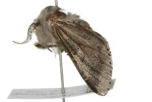 (Furcula occidentalis - 09PROBE-09361)  @15 [ ] CC-0 (2009) CBG Photography Group Centre for Biodiversity Genomics