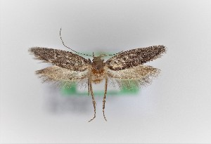 (Epanastasis - 0042PF)  @11 [ ] by-nc-sa (2018) Per Falck Zoologisk Museum, Copenhagen