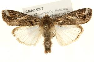 (Spodoptera frugiperda sp. 2 - CMAZ-0277)  @15 [ ] CreativeCommons - Attribution Non-Commercial Share-Alike (2010) CBG Photography Group Centre for Biodiversity Genomics