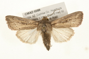 (Leucania oaxacana - CMAZ-0289)  @15 [ ] CreativeCommons - Attribution Non-Commercial Share-Alike (2010) CBG Photography Group Centre for Biodiversity Genomics