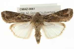 (Spodoptera frugiperda sp. 2 - CMAZ-0061)  @15 [ ] CreativeCommons - Attribution Non-Commercial Share-Alike (2009) CBG Photography Group Centre for Biodiversity Genomics