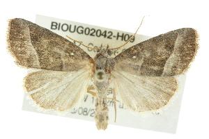 (Ogdoconta moreno - BIOUG02042-H09)  @15 [ ] CreativeCommons - Attribution Non-Commercial Share-Alike (2012) CBG Photography Group Centre for Biodiversity Genomics
