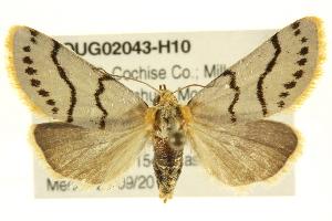 (Lineostriastiria sexseriata - BIOUG02043-H10)  @13 [ ] CreativeCommons - Attribution Non-Commercial Share-Alike (2012) CBG Photography Group Centre for Biodiversity Genomics