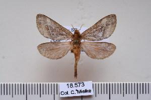 (Schaefferiana - BC-CGCM-18.573)  @14 [ ] Copyright (2010) Carlos Mielke Research Collection of Carlos Mielke