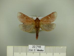 (Hepialyxodes - BC-CGCM 22.716)  @13 [ ] Copyright (2010) Carlos Mielke Research Collection of Carlos Mielke