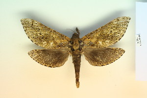 (Andeabatis - BC-CGCM-6.283)  @14 [ ] Copyright (2010) Carlos Mielke Research Collection of Carlos Mielke