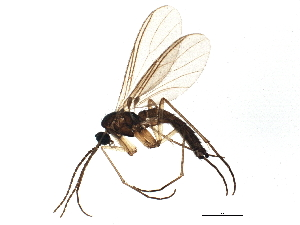 (Leptosciarella scutellata - BIOUG04307-G10)  @15 [ ] CC-0 (2014) CBG Photography Group Centre for Biodiversity Genomics