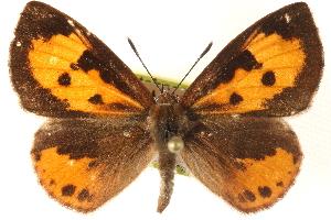 (Miletinae - BIOUG15631-F12)  @15 [ ] CreativeCommons - Attribution Non-Commercial Share-Alike (2014) CBG Photography Group Centre for Biodiversity Genomics