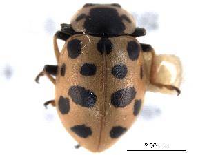 (Hippodamia tredecimpunctata tibialis - CNC COLEO 00154327)  @14 [ ] CreativeCommons - Attribution Non-Commercial Share-Alike (2012) CNC/BIO Photography Group Centre for Biodiversity Genomics