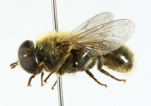 (Merodon - CNC DIPTERA 102256)  @15 [ ] CreativeCommons - Attribution Non-Commercial Share-Alike (2011) CNC/BIO Photography Group Centre for Biodiversity Genomics