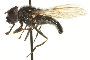 (Cheilosia - CNC DIPTERA 106456)  @16 [ ] CreativeCommons - Attribution Non-Commercial Share-Alike (2011) CNC/BIO Photography Group Centre for Biodiversity Genomics