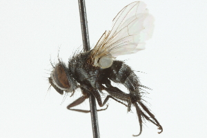 (Bessa - CNC DIPTERA 104843)  @13 [ ] CreativeCommons - Attribution Non-Commercial Share-Alike (2011) CNC/BIO Photography Group Centre for Biodiversity Genomics