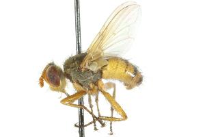 (Euclytia - CNC DIPTERA 104893)  @14 [ ] CreativeCommons - Attribution Non-Commercial Share-Alike (2011) CNC/BIO Photography Group Centre for Biodiversity Genomics