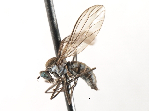 (Clinocerinae - CNC DIPTERA 103579)  @15 [ ] CreativeCommons - Attribution Non-Commercial Share-Alike (2011) CNC/BIO Photography Group Centre for Biodiversity Genomics