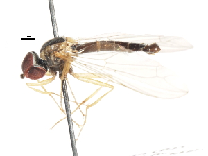 (Nephrocerinae - CNC DIPTERA 106179)  @13 [ ] CreativeCommons - Attribution Non-Commercial Share-Alike (2011) CNC/BIO Photography Group Centre for Biodiversity Genomics