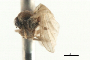 (Androprosopa japonica - CNC DIPTERA 103117)  @11 [ ] CreativeCommons - Attribution Non-Commercial Share-Alike (2011) CNC/BIO Photography Group Centre for Biodiversity Genomics