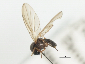 (Androprosopa sp. 14 - CNC DIPTERA 103193)  @11 [ ] CreativeCommons - Attribution Non-Commercial Share-Alike (2011) CNC/BIO Photography Group Centre for Biodiversity Genomics