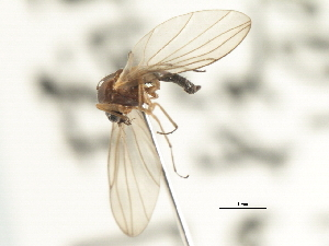(Androprosopa sp. 15 - CNC DIPTERA 103195)  @11 [ ] CreativeCommons - Attribution Non-Commercial Share-Alike (2011) CNC/BIO Photography Group Centre for Biodiversity Genomics