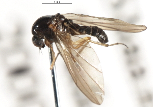 (Androprosopa sp. 20 - CNC DIPTERA 103214)  @11 [ ] CreativeCommons - Attribution Non-Commercial Share-Alike (2011) CNC/BIO Photography Group Centre for Biodiversity Genomics