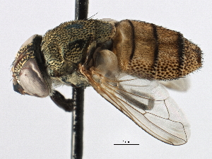 (Stomorhina - CNC DIPTERA 134567)  @14 [ ] CreativeCommons - Attribution Non-Commercial Share-Alike (2013) CNC/BIO Photography Group Centre for Biodiversity Genomics