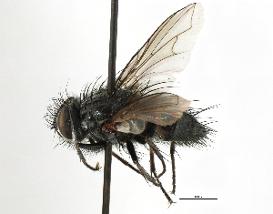 (Aneogmena - CNC DIPTERA 197463)  @11 [ ] CreativeCommons - Attribution Non-Commercial Share-Alike (2013) BIO Photography Group/CNC Centre for Biodiversity Genomics
