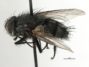 (Pseudalsomyia - CNC DIPTERA 197468)  @11 [ ] CreativeCommons - Attribution Non-Commercial Share-Alike (2013) BIO Photography Group/CNC Centre for Biodiversity Genomics