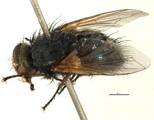 (Tasmaniomyia - CNC DIPTERA 197480)  @11 [ ] CreativeCommons - Attribution Non-Commercial Share-Alike (2013) BIO Photography Group/CNC Centre for Biodiversity Genomics