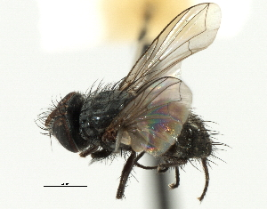 (Anagonia - CNC DIPTERA 197496)  @11 [ ] CreativeCommons - Attribution Non-Commercial Share-Alike (2013) BIO Photography Group/CNC Centre for Biodiversity Genomics