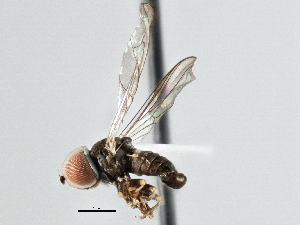 (Pipunculidae - CNC DIPTERA 137118)  @16 [ ] CreativeCommons - Attribution Non-Commercial Share-Alike (2013) BIO Photography Group/CNC Centre for Biodiversity Genomics
